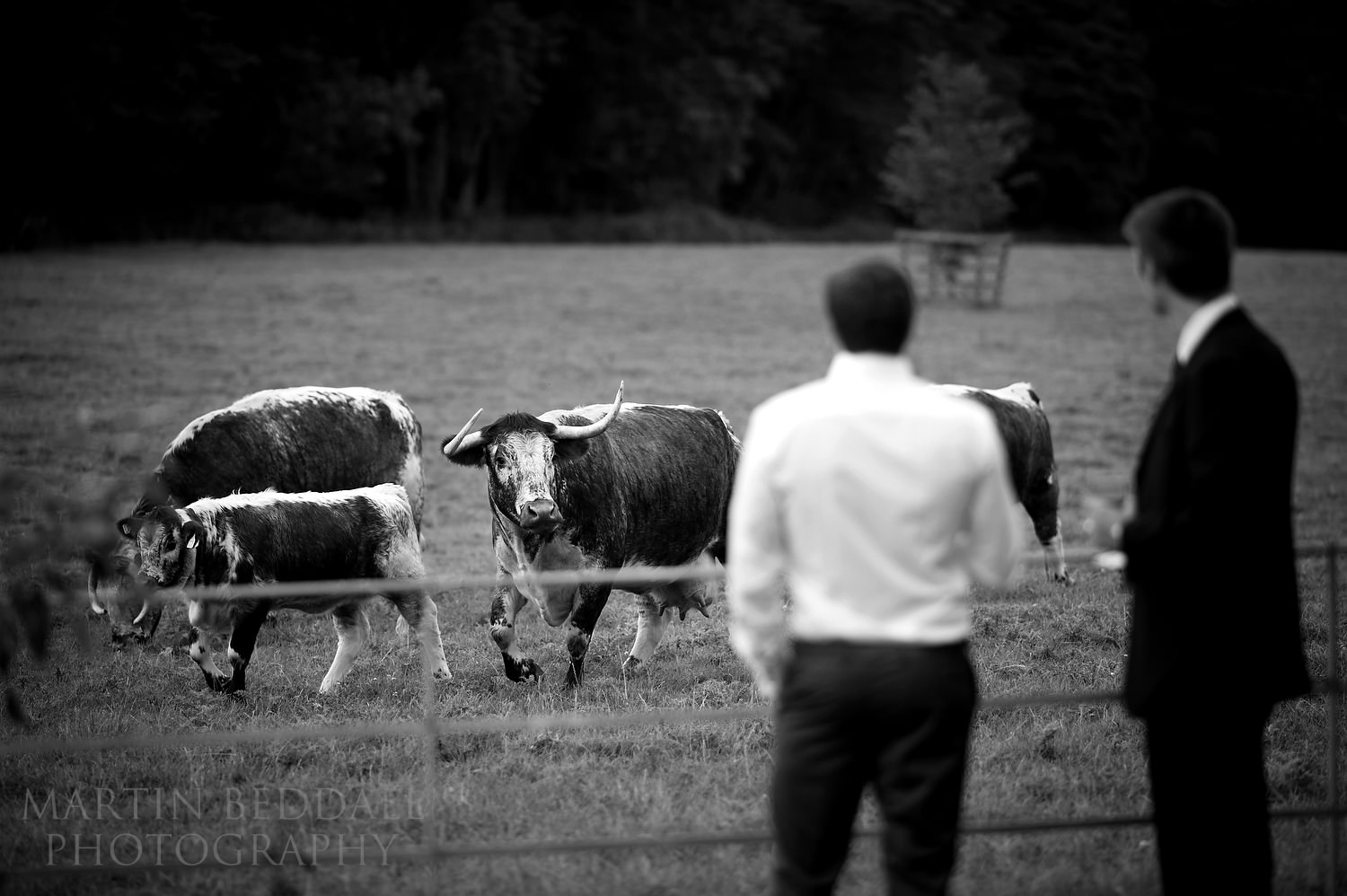 Guests and cattle at Gate Street Barn wedding