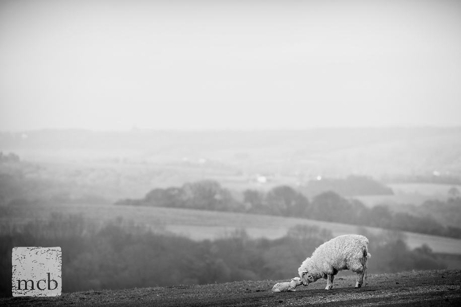New born lamb on the South downs yet to stand up