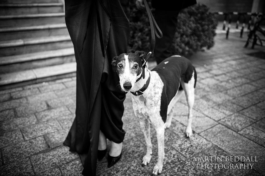 Betty the greyhound