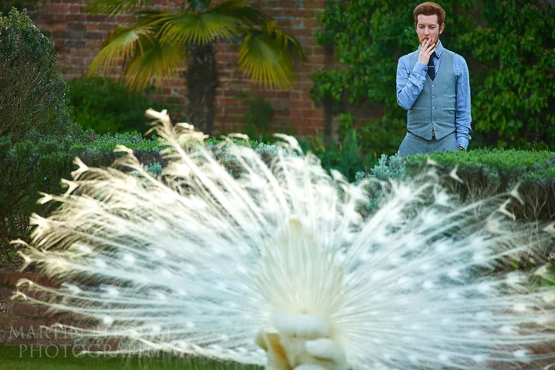 peacock shows off to a wedding guest