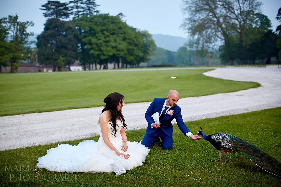 feeding the peacocks